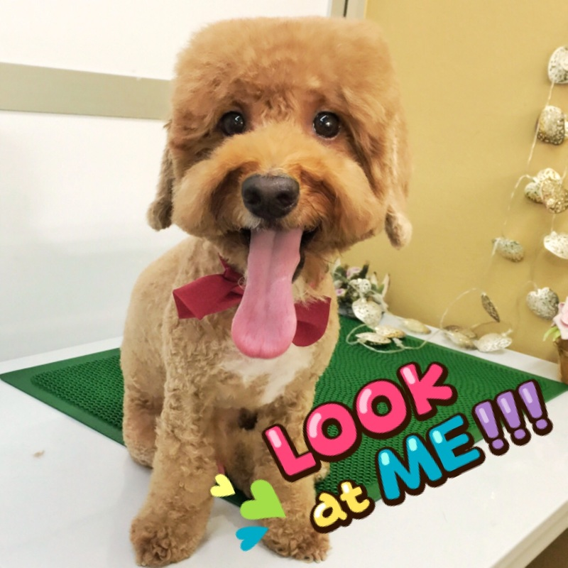 taiwanese dog grooming in singapore