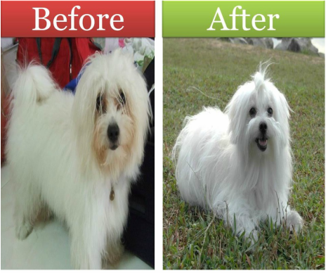 real life pictures of grooming maltese dog