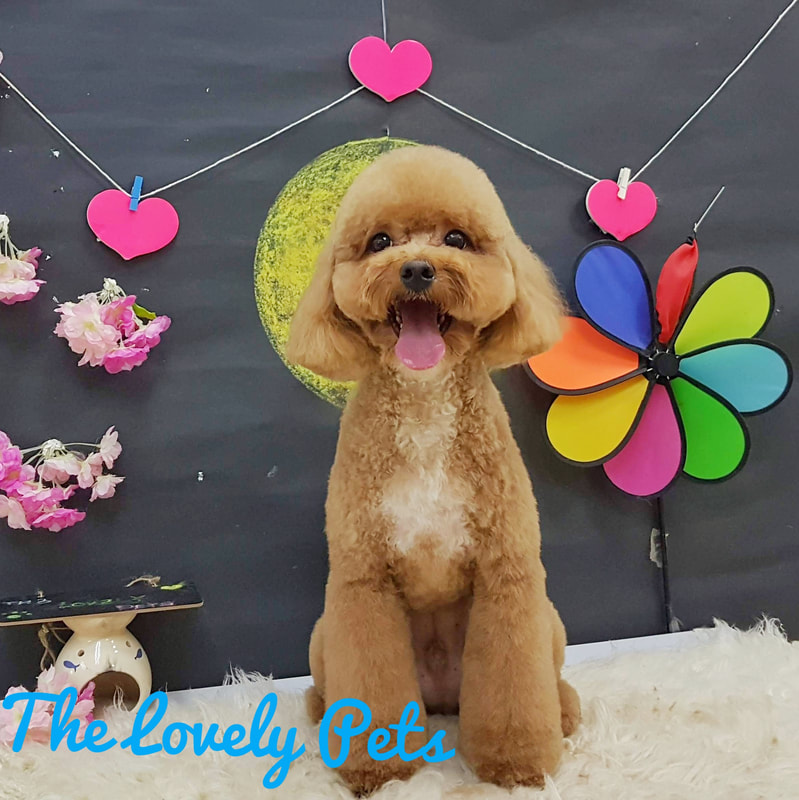 Best Toy Poodle Dog Grooming In Singapore Gentle Grooming