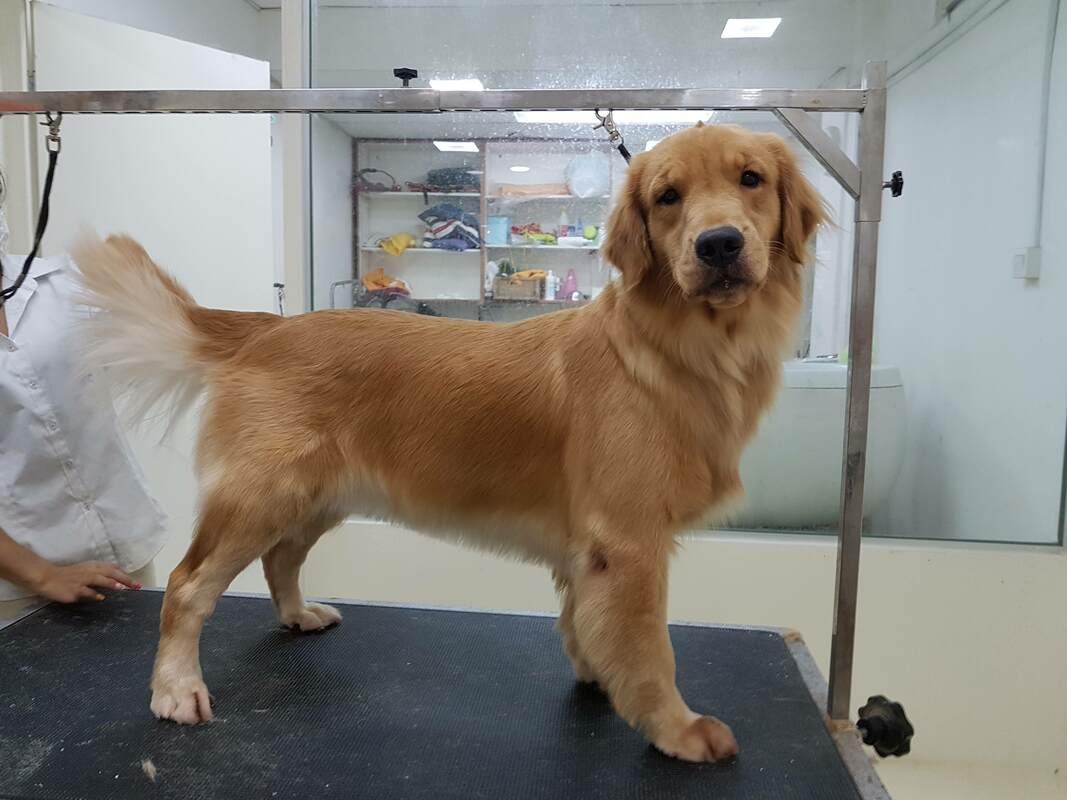 Dog Grooming Singapore - Golden Retriever - PUPPIES SALE SINGAPORE