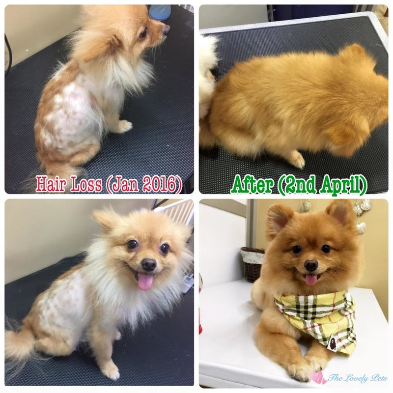 Bald skin problem of this pomeranian dog solved by The Lovely Pets and Silky shampoo