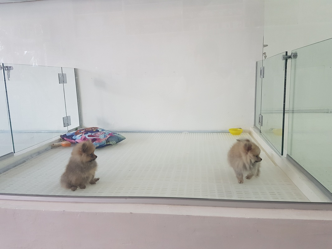 Pomeranian puppies for sale in a big clean space in Singapore