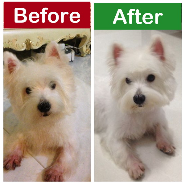 westie puppy singapore grooming