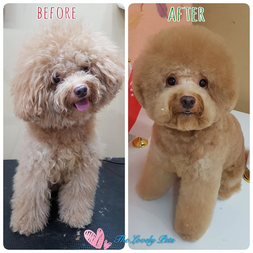 coloring for puppy groomed up in singapore