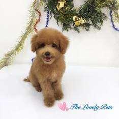 Puppy singapore for sale