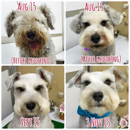 Schnauzer mouth stain on this dog is solved by The Lovely Pets puppies sale singapore